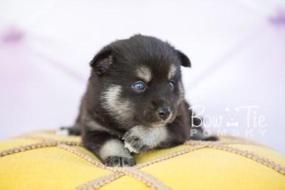 puppy31-week4-bowtiepomsky-com-bowtie-pomsky-puppy-for-sale-husky-pomeranian-mini-dog-spokane-wa-breeder-blue-eyes-pomskies-photo_fb-43