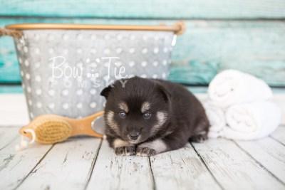 puppy31-week4-bowtiepomsky-com-bowtie-pomsky-puppy-for-sale-husky-pomeranian-mini-dog-spokane-wa-breeder-blue-eyes-pomskies-photo_fb-44