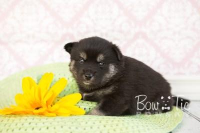 puppy31-week4-bowtiepomsky-com-bowtie-pomsky-puppy-for-sale-husky-pomeranian-mini-dog-spokane-wa-breeder-blue-eyes-pomskies-photo_fb-49