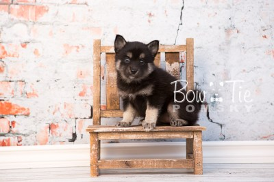 puppy31-week6-bowtiepomsky-com-bowtie-pomsky-puppy-for-sale-husky-pomeranian-mini-dog-spokane-wa-breeder-blue-eyes-pomskies-photo_fb-52