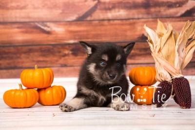 puppy31-week6-bowtiepomsky-com-bowtie-pomsky-puppy-for-sale-husky-pomeranian-mini-dog-spokane-wa-breeder-blue-eyes-pomskies-photo_fb-53