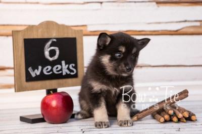 puppy31-week6-bowtiepomsky-com-bowtie-pomsky-puppy-for-sale-husky-pomeranian-mini-dog-spokane-wa-breeder-blue-eyes-pomskies-photo_fb-54