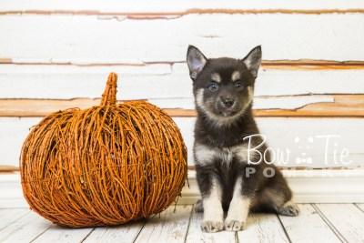 puppy31-week8-bowtiepomsky-com-bowtie-pomsky-puppy-for-sale-husky-pomeranian-mini-dog-spokane-wa-breeder-blue-eyes-pomskies-bowtie_pumsky_fb-0824