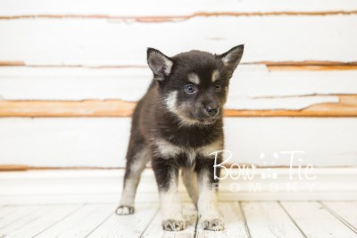 puppy31-week8-bowtiepomsky-com-bowtie-pomsky-puppy-for-sale-husky-pomeranian-mini-dog-spokane-wa-breeder-blue-eyes-pomskies-bowtie_pumsky_fb-0833