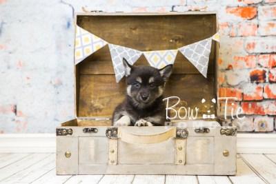 puppy31-week8-bowtiepomsky-com-bowtie-pomsky-puppy-for-sale-husky-pomeranian-mini-dog-spokane-wa-breeder-blue-eyes-pomskies-bowtie_pumsky_fb-0858