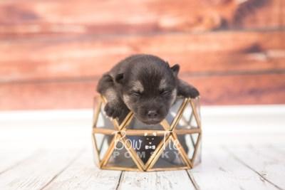 puppy32 week2 BowTiePomsky.com Bowtie Pomsky Puppy For Sale Husky Pomeranian Mini Dog Spokane WA Breeder Blue Eyes Pomskies photo-photo_fb-2
