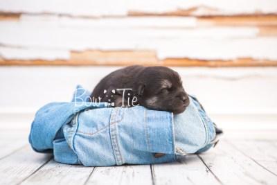 puppy32 week2 BowTiePomsky.com Bowtie Pomsky Puppy For Sale Husky Pomeranian Mini Dog Spokane WA Breeder Blue Eyes Pomskies photo-photo_fb-4