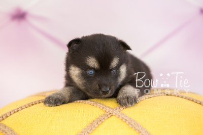 puppy32-week4-bowtiepomsky-com-bowtie-pomsky-puppy-for-sale-husky-pomeranian-mini-dog-spokane-wa-breeder-blue-eyes-pomskies-photo_fb-50