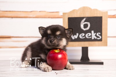 puppy32-week6-bowtiepomsky-com-bowtie-pomsky-puppy-for-sale-husky-pomeranian-mini-dog-spokane-wa-breeder-blue-eyes-pomskies-photo_fb-58