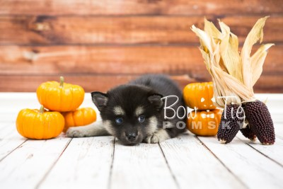 puppy32-week6-bowtiepomsky-com-bowtie-pomsky-puppy-for-sale-husky-pomeranian-mini-dog-spokane-wa-breeder-blue-eyes-pomskies-photo_fb-59