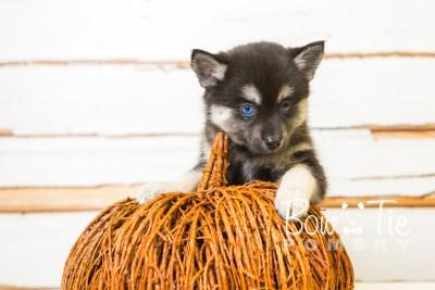 puppy32-week8-bowtiepomsky-com-bowtie-pomsky-puppy-for-sale-husky-pomeranian-mini-dog-spokane-wa-breeder-blue-eyes-pomskies-bowtie_pumsky_fb-0927