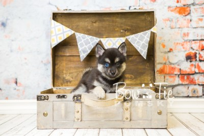 puppy32-week8-bowtiepomsky-com-bowtie-pomsky-puppy-for-sale-husky-pomeranian-mini-dog-spokane-wa-breeder-blue-eyes-pomskies-bowtie_pumsky_fb-0940