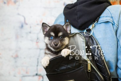 puppy32-week8-bowtiepomsky-com-bowtie-pomsky-puppy-for-sale-husky-pomeranian-mini-dog-spokane-wa-breeder-blue-eyes-pomskies-bowtie_pumsky_fb-0978