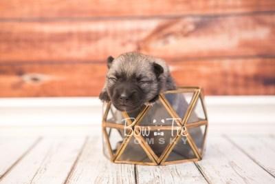 puppy33 week2 BowTiePomsky.com Bowtie Pomsky Puppy For Sale Husky Pomeranian Mini Dog Spokane WA Breeder Blue Eyes Pomskies photo-photo_fb-2