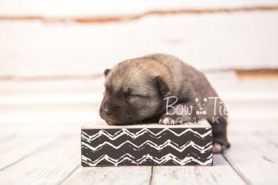 puppy33 week2 BowTiePomsky.com Bowtie Pomsky Puppy For Sale Husky Pomeranian Mini Dog Spokane WA Breeder Blue Eyes Pomskies photo-photo_fb-6