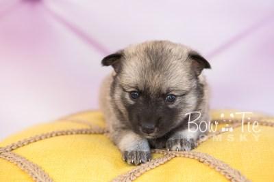 puppy33-week4-bowtiepomsky-com-bowtie-pomsky-puppy-for-sale-husky-pomeranian-mini-dog-spokane-wa-breeder-blue-eyes-pomskies-photo_fb-57