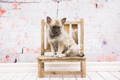puppy33-week6-bowtiepomsky-com-bowtie-pomsky-puppy-for-sale-husky-pomeranian-mini-dog-spokane-wa-breeder-blue-eyes-pomskies-photo_fb-66