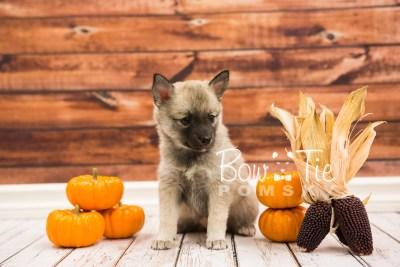 puppy33-week6-bowtiepomsky-com-bowtie-pomsky-puppy-for-sale-husky-pomeranian-mini-dog-spokane-wa-breeder-blue-eyes-pomskies-photo_fb-68