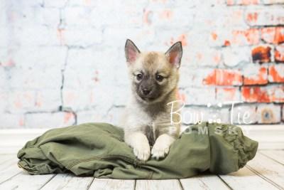 puppy33-week8-bowtiepomsky-com-bowtie-pomsky-puppy-for-sale-husky-pomeranian-mini-dog-spokane-wa-breeder-blue-eyes-pomskies-bowtie_pumsky_fb-1028