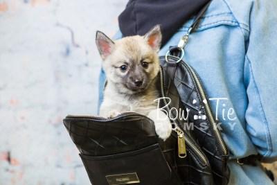 puppy33-week8-bowtiepomsky-com-bowtie-pomsky-puppy-for-sale-husky-pomeranian-mini-dog-spokane-wa-breeder-blue-eyes-pomskies-bowtie_pumsky_fb-1065