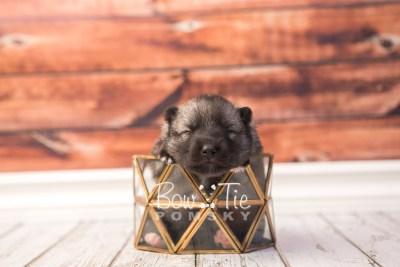 puppy34 week2 BowTiePomsky.com Bowtie Pomsky Puppy For Sale Husky Pomeranian Mini Dog Spokane WA Breeder Blue Eyes Pomskies photo-photo_fb-2