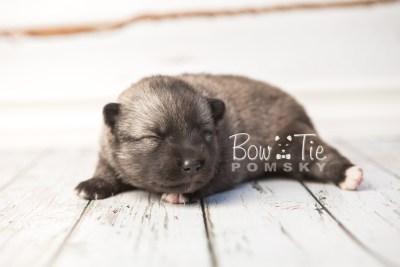 puppy34 week2 BowTiePomsky.com Bowtie Pomsky Puppy For Sale Husky Pomeranian Mini Dog Spokane WA Breeder Blue Eyes Pomskies photo-photo_fb-7