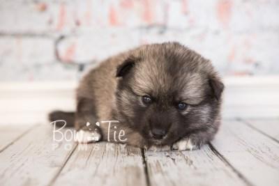 puppy34-week4-bowtiepomsky-com-bowtie-pomsky-puppy-for-sale-husky-pomeranian-mini-dog-spokane-wa-breeder-blue-eyes-pomskies-photo_fb-66