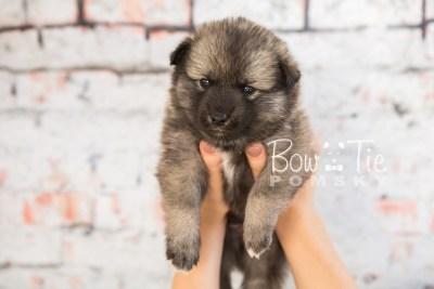 puppy34-week4-bowtiepomsky-com-bowtie-pomsky-puppy-for-sale-husky-pomeranian-mini-dog-spokane-wa-breeder-blue-eyes-pomskies-photo_fb-67