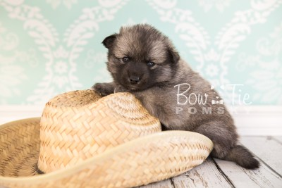 puppy34-week4-bowtiepomsky-com-bowtie-pomsky-puppy-for-sale-husky-pomeranian-mini-dog-spokane-wa-breeder-blue-eyes-pomskies-photo_fb-70