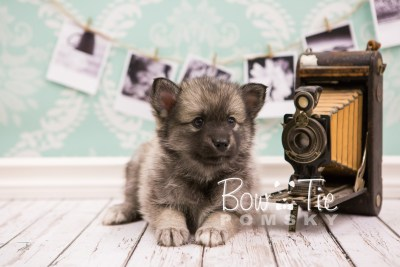 puppy34-week6-bowtiepomsky-com-bowtie-pomsky-puppy-for-sale-husky-pomeranian-mini-dog-spokane-wa-breeder-blue-eyes-pomskies-photo_fb-71