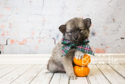 puppy34-week6-bowtiepomsky-com-bowtie-pomsky-puppy-for-sale-husky-pomeranian-mini-dog-spokane-wa-breeder-blue-eyes-pomskies-photo_fb-75