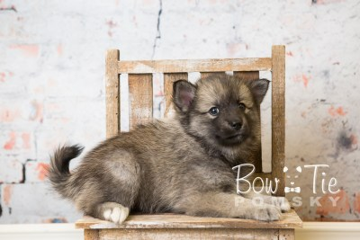 puppy34-week6-bowtiepomsky-com-bowtie-pomsky-puppy-for-sale-husky-pomeranian-mini-dog-spokane-wa-breeder-blue-eyes-pomskies-photo_fb-76