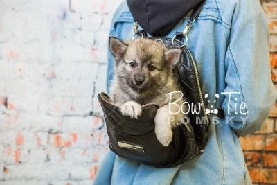puppy34-week8-bowtiepomsky-com-bowtie-pomsky-puppy-for-sale-husky-pomeranian-mini-dog-spokane-wa-breeder-blue-eyes-pomskies-bowtie_pumsky_fb-1131