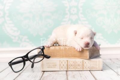 puppy35 week2 BowTiePomsky.com Bowtie Pomsky Puppy For Sale Husky Pomeranian Mini Dog Spokane WA Breeder Blue Eyes Pomskies photo-photo_fb-1