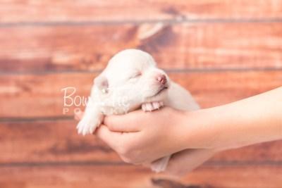 puppy35 week2 BowTiePomsky.com Bowtie Pomsky Puppy For Sale Husky Pomeranian Mini Dog Spokane WA Breeder Blue Eyes Pomskies photo-photo_fb-3