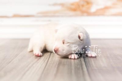 puppy35 week2 BowTiePomsky.com Bowtie Pomsky Puppy For Sale Husky Pomeranian Mini Dog Spokane WA Breeder Blue Eyes Pomskies photo-photo_fb-7