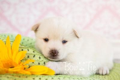 puppy35-week4-bowtiepomsky-com-bowtie-pomsky-puppy-for-sale-husky-pomeranian-mini-dog-spokane-wa-breeder-blue-eyes-pomskies-photo_fb-77