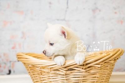 puppy35-week6-bowtiepomsky-com-bowtie-pomsky-puppy-for-sale-husky-pomeranian-mini-dog-spokane-wa-breeder-blue-eyes-pomskies-photo_fb-78