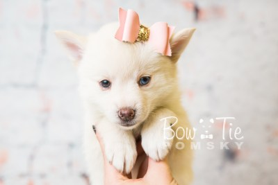 puppy35-week6-bowtiepomsky-com-bowtie-pomsky-puppy-for-sale-husky-pomeranian-mini-dog-spokane-wa-breeder-blue-eyes-pomskies-photo_fb-79