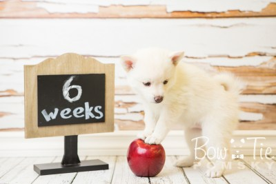 puppy35-week6-bowtiepomsky-com-bowtie-pomsky-puppy-for-sale-husky-pomeranian-mini-dog-spokane-wa-breeder-blue-eyes-pomskies-photo_fb-82