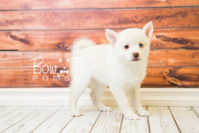 puppy35-week8-bowtiepomsky-com-bowtie-pomsky-puppy-for-sale-husky-pomeranian-mini-dog-spokane-wa-breeder-blue-eyes-pomskies-bowtie_pumsky_fb-1169