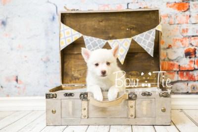 puppy35-week8-bowtiepomsky-com-bowtie-pomsky-puppy-for-sale-husky-pomeranian-mini-dog-spokane-wa-breeder-blue-eyes-pomskies-bowtie_pumsky_fb-1185