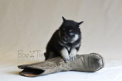 puppy5 BowTiePomsky.com Bowtie Pomsky Puppy For Sale Husky Pomeranian Mini Dog Spokane WA Breeder Blue Eyes Pomskies photo45