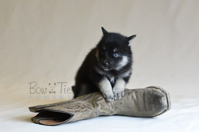 puppy5 BowTiePomsky.com Bowtie Pomsky Puppy For Sale Husky Pomeranian Mini Dog Spokane WA Breeder Blue Eyes Pomskies photo45