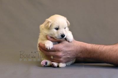 puppy6 BowTiePomsky.com Bowtie Pomsky Puppy For Sale Husky Pomeranian Mini Dog Spokane WA Breeder Blue Eyes Pomskies photo13