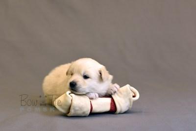 puppy6 BowTiePomsky.com Bowtie Pomsky Puppy For Sale Husky Pomeranian Mini Dog Spokane WA Breeder Blue Eyes Pomskies photo18