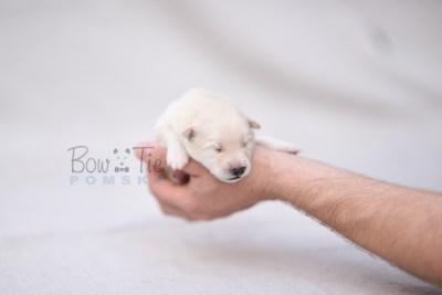 puppy6 BowTiePomsky.com Bowtie Pomsky Puppy For Sale Husky Pomeranian Mini Dog Spokane WA Breeder Blue Eyes Pomskies photo3