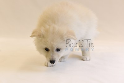puppy6 BowTiePomsky.com Bowtie Pomsky Puppy For Sale Husky Pomeranian Mini Dog Spokane WA Breeder Blue Eyes Pomskies photo56