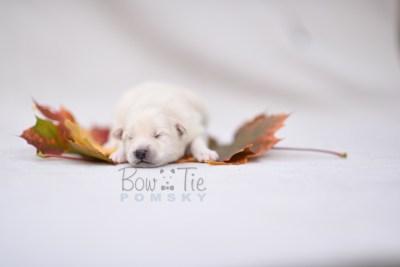 puppy6 BowTiePomsky.com Bowtie Pomsky Puppy For Sale Husky Pomeranian Mini Dog Spokane WA Breeder Blue Eyes Pomskies photo6