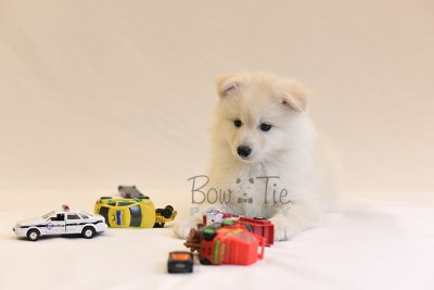 puppy6 BowTiePomsky.com Bowtie Pomsky Puppy For Sale Husky Pomeranian Mini Dog Spokane WA Breeder Blue Eyes Pomskies photo60